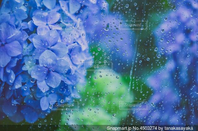 雨と紫陽花Cの写真・画像素材[4503274]