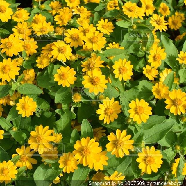 カラフルなお花の写真・画像素材[1367609]