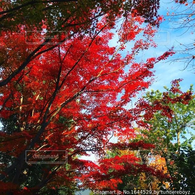 綺麗な紅葉の写真・画像素材[1644529]