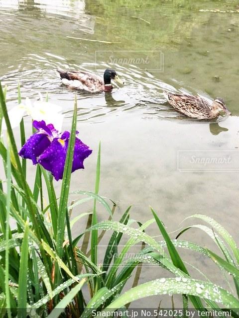 菖蒲の写真・画像素材[542025]