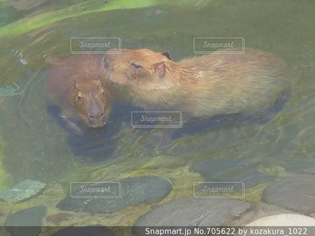 水体で泳ぐヒグマの写真・画像素材[705622]