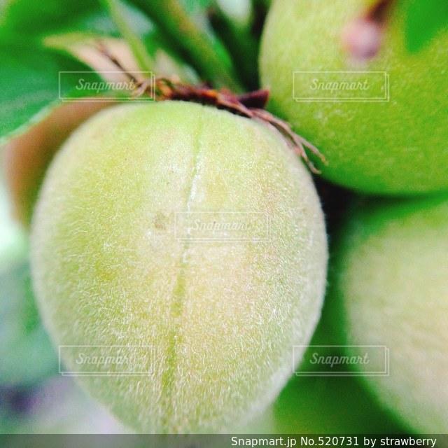 梅の写真・画像素材[520731]