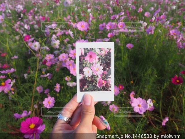 紫の花を持つ手の写真・画像素材[1446530]