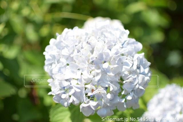 花の写真・画像素材[549588]