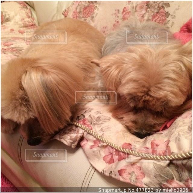犬  ヨーキー  ミックスの写真・画像素材[477823]