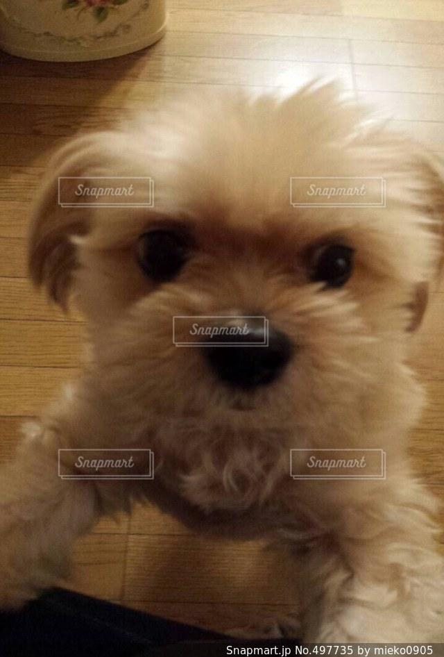 悲しい顔  犬  寂しいの写真・画像素材[497735]