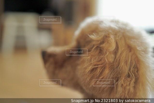 ふわふわなお耳の写真・画像素材[2321803]