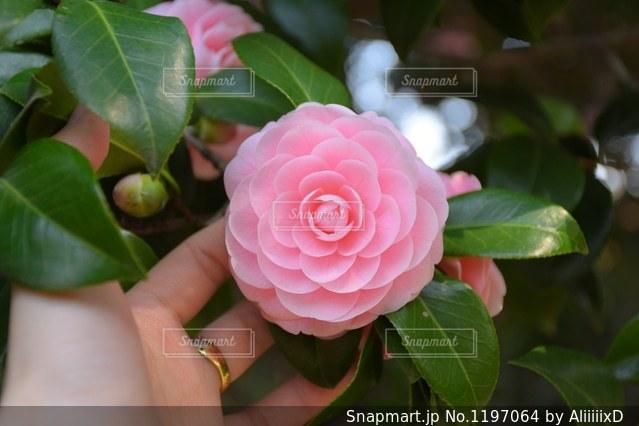 近くの花のアップの写真・画像素材[1197064]
