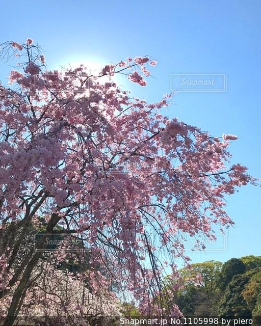 ピンクの花の木の写真・画像素材[1105998]
