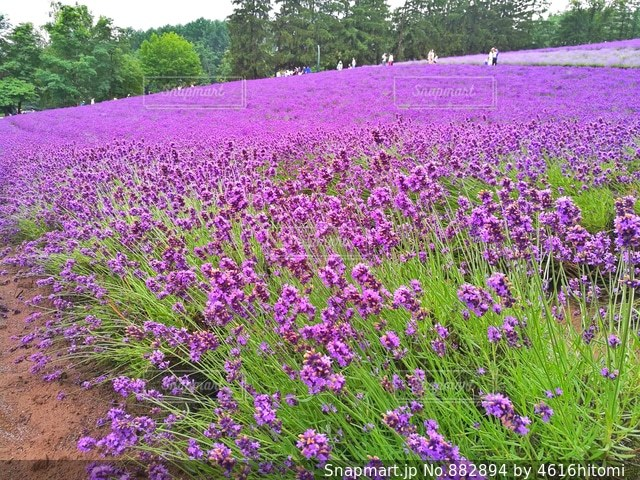 大きな紫色の花は、庭の写真・画像素材[882894]