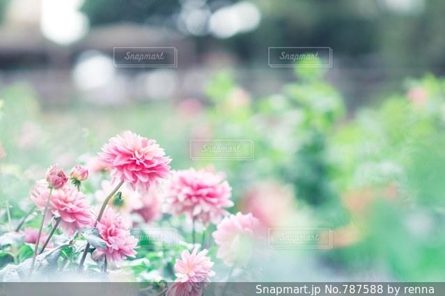 ピンクのダリアの写真・画像素材[787588]