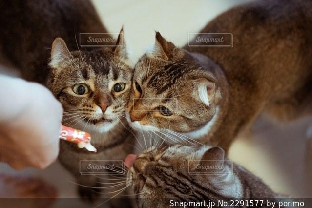カメラを見ている猫の写真・画像素材[2291577]
