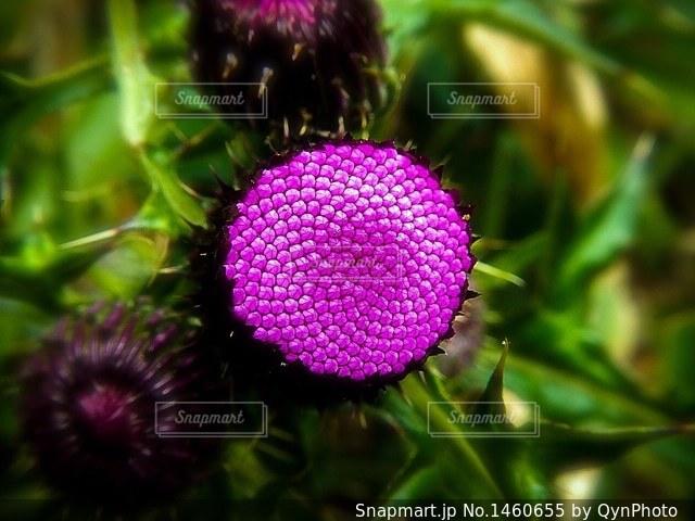 ピンクの花の写真・画像素材[1460655]