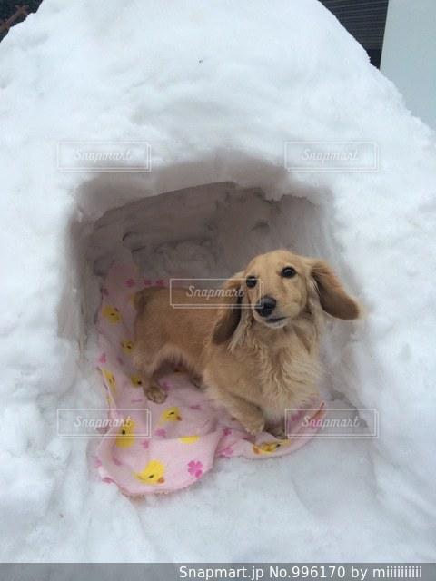 雪の山の上に横たわる犬の写真・画像素材[996170]