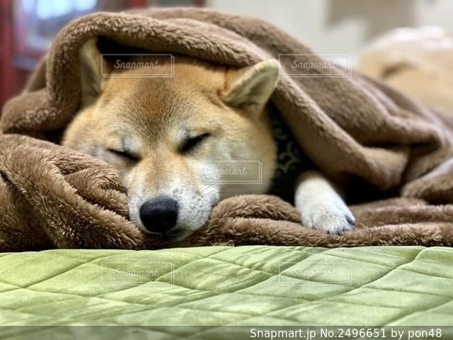 柴犬 犬 毛布 寝る うとうとの写真・画像素材[2496651]