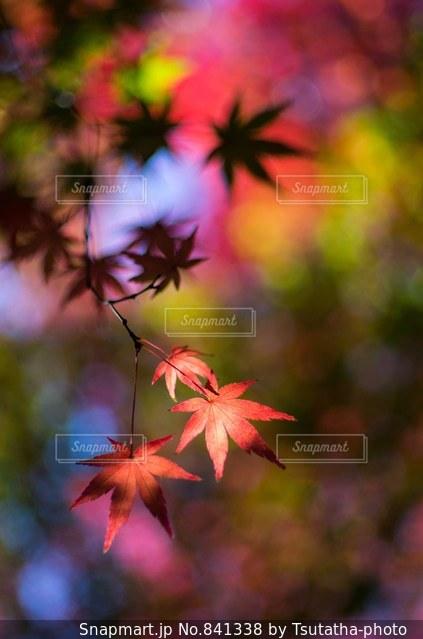 ピンクの花の木の写真・画像素材[841338]
