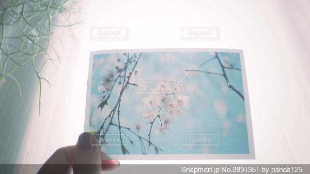 桜のフィルム写真を持つ手の写真・画像素材[2891351]