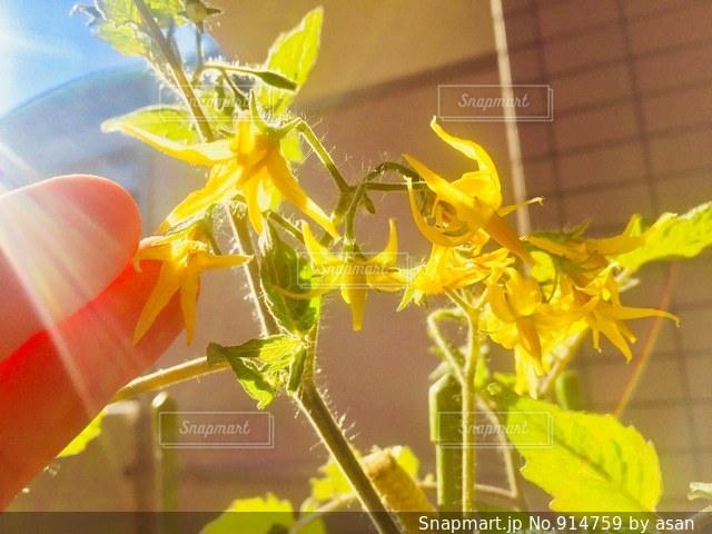 12月でも咲き続けるミニトマトの花♪の写真・画像素材[914759]