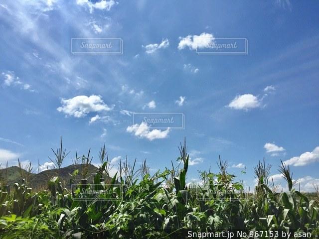 晴天に映えるとうもろこし畑♪の写真・画像素材[967153]