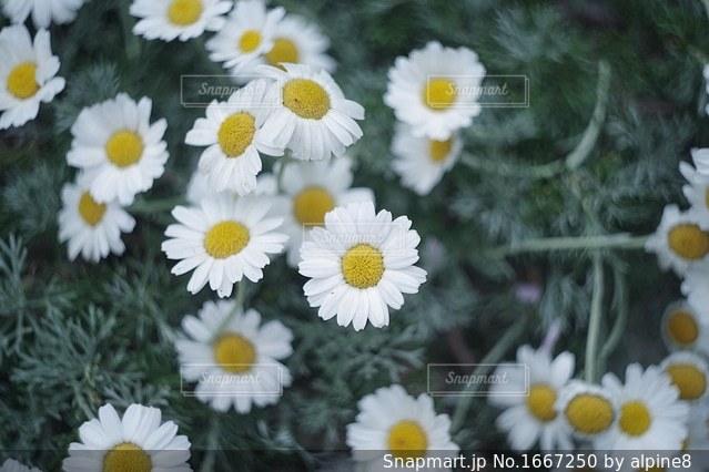 ノースポールの写真・画像素材[1667250]