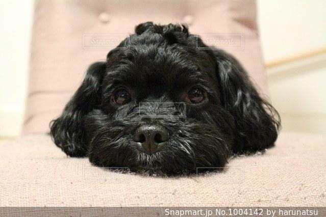 横になって、カメラを見ている犬の写真・画像素材[1004142]