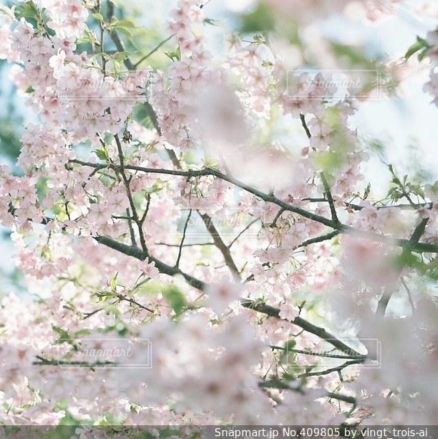 春の写真・画像素材[409805]