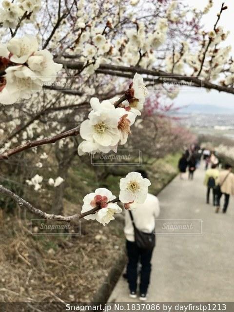 ピンクの花のグループの写真・画像素材[1837086]