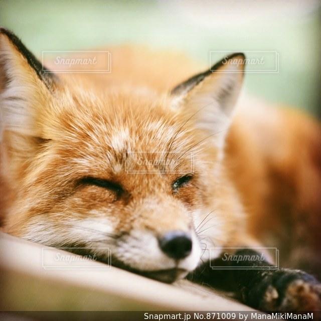 近くに狐のアップの写真・画像素材[871009]