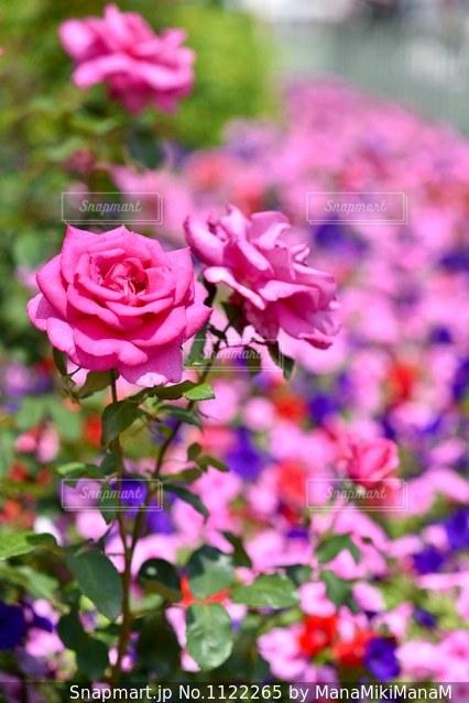 薔薇の写真・画像素材[1122265]