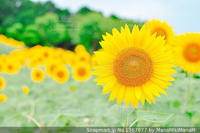 近くの花のアップの写真・画像素材[1367877]