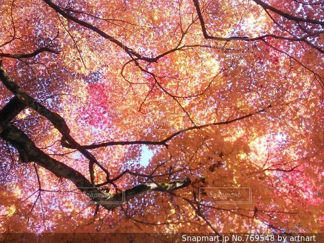 空いっぱいの紅葉の写真・画像素材[769548]