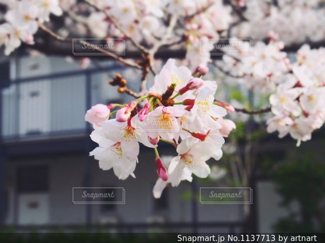 桜とアパートの写真・画像素材[1137713]