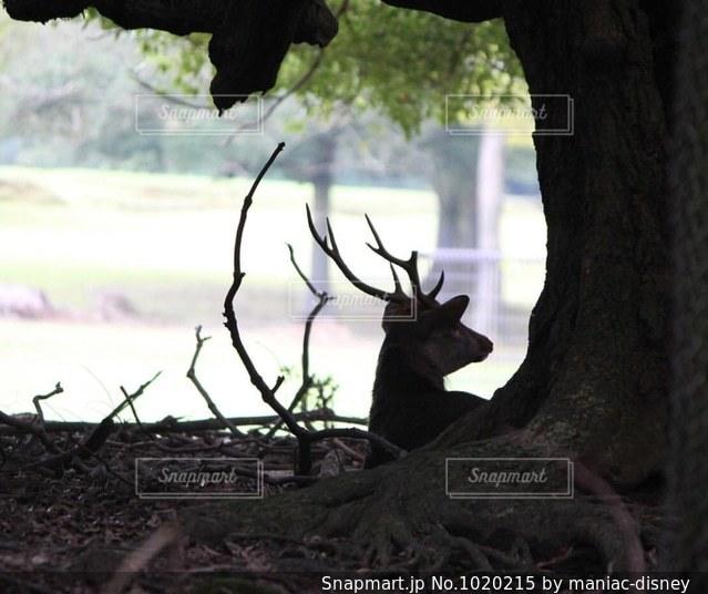 春日大社の鹿の写真・画像素材[1020215]