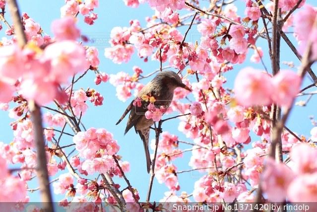 春が来たの写真・画像素材[1371420]