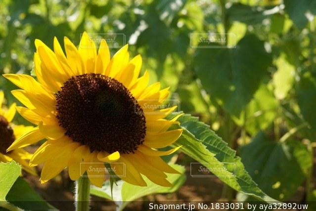 緑の葉と黄色の花の写真・画像素材[1833031]