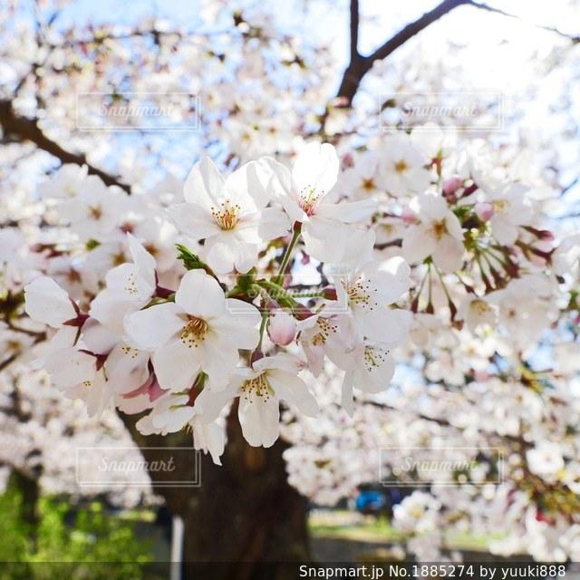 桜の写真・画像素材[1885274]