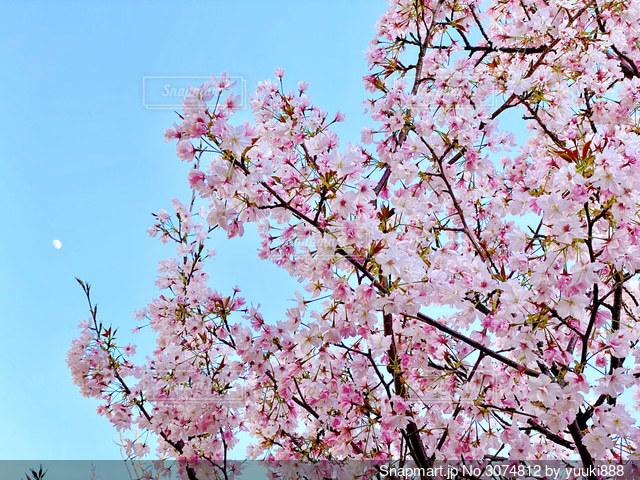 桜の写真・画像素材[3074812]