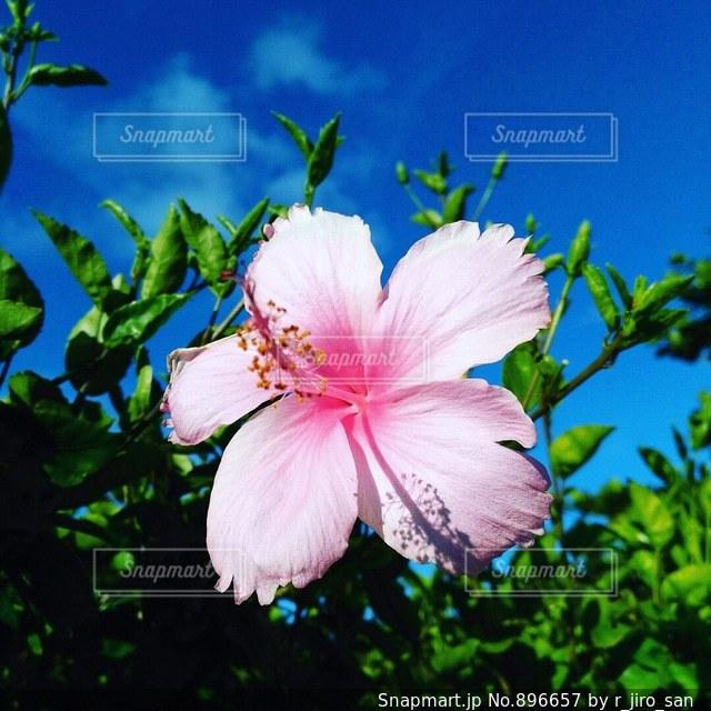 植物にピンクの花の写真・画像素材[896657]