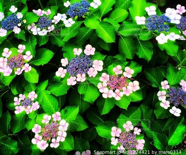 紫陽花の写真・画像素材[1224421]