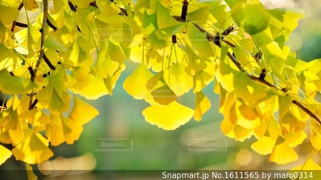 秋色のイチョウの写真・画像素材[1611565]