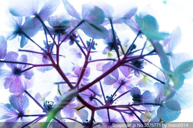 紫陽花の裏の写真・画像素材[3375771]