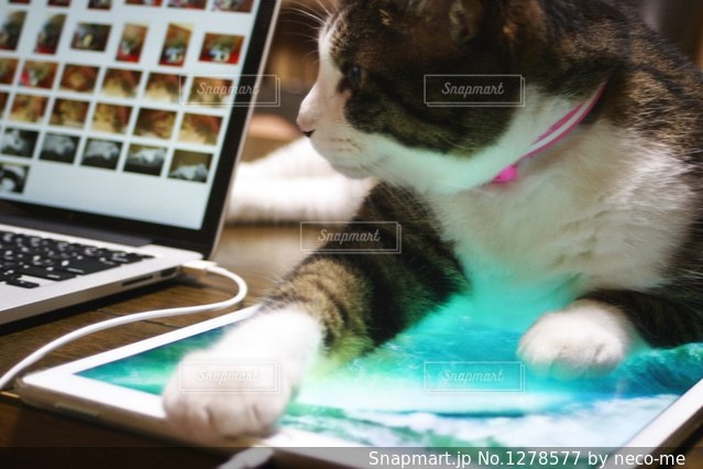 iPadを使わせてくれないネコの写真・画像素材[1278577]