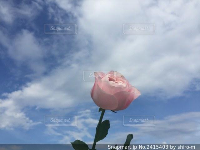 曇りの日のピンクの花の写真・画像素材[2415403]