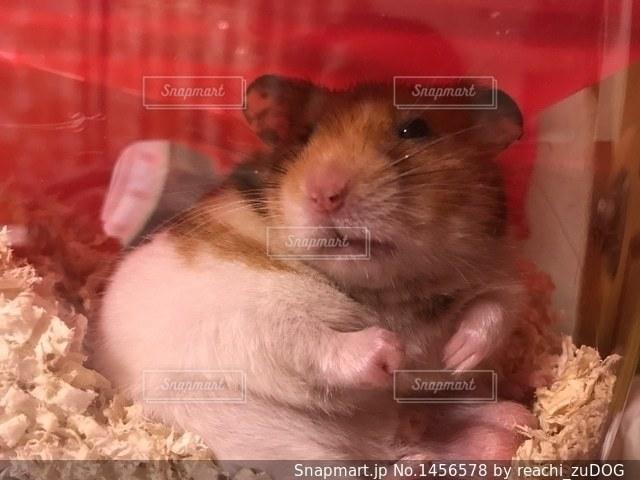 寝ぼけたハムスターの写真・画像素材[1456578]