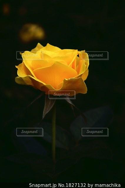 黄薔薇一輪の写真 画像素材 Snapmart スナップマート