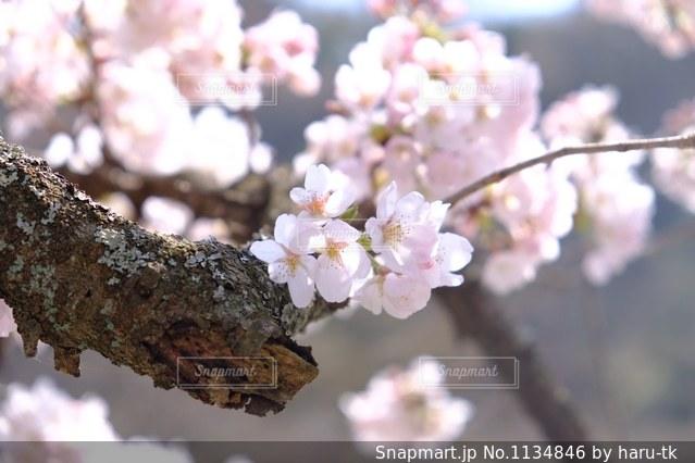 桜の写真・画像素材[1134846]