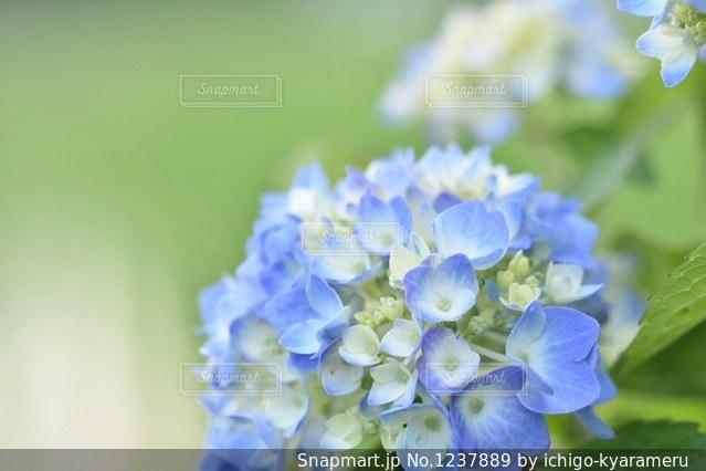 紫陽花の写真・画像素材[1237889]