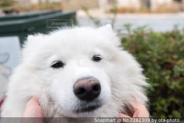 サモエド犬。モフモフ〜(^^)の写真・画像素材[2282309]
