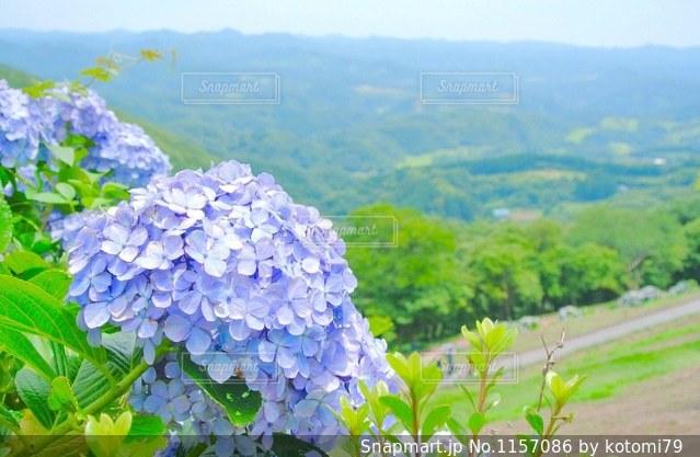 紫陽花の写真・画像素材[1157086]