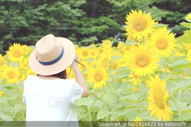 ひまわり畑の写真・画像素材[1414622]